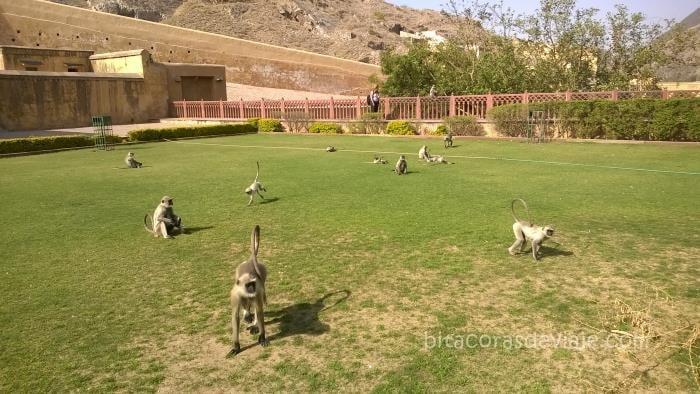 Los monos que nos hacen compañia por toda India